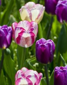 tulip-1437919-m